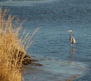 heron in water at the eastern neck national wildlife refuge