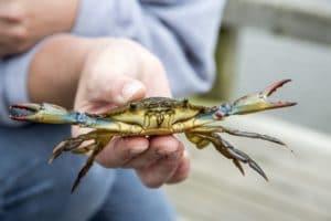 Blue crab being held